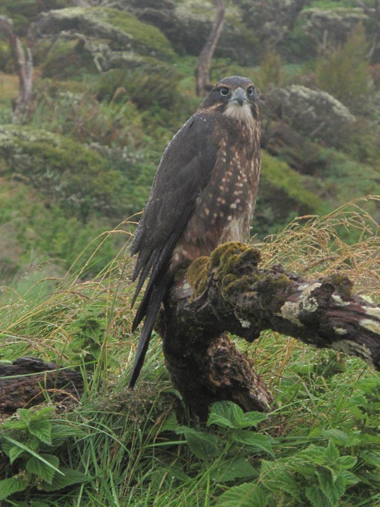 falcon-habitat