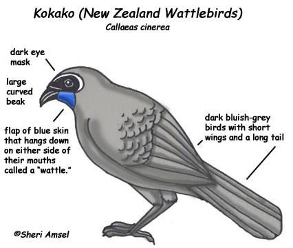 kokako_nzbird_diagram