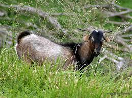 feral-goat-3