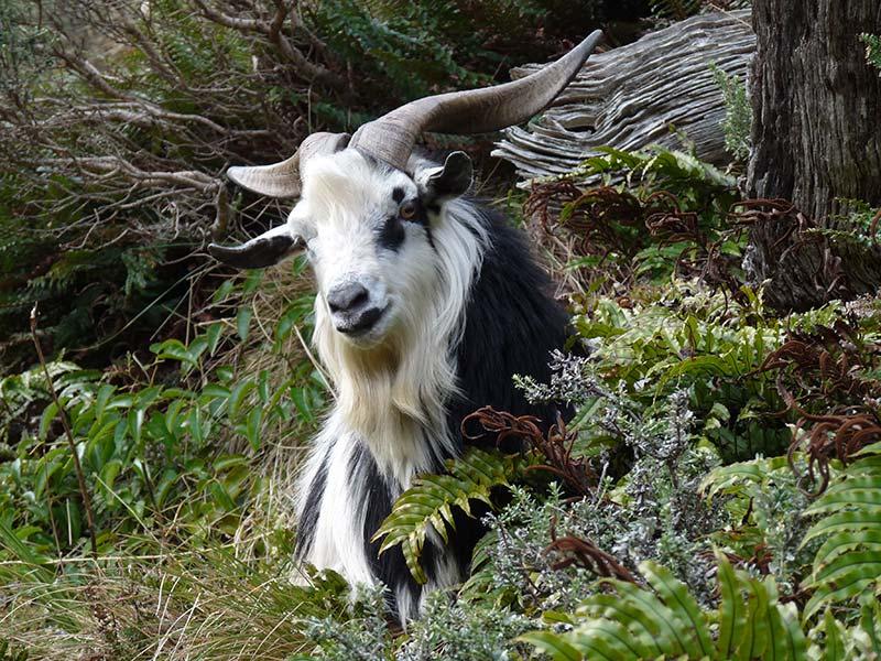 feral-goat-4