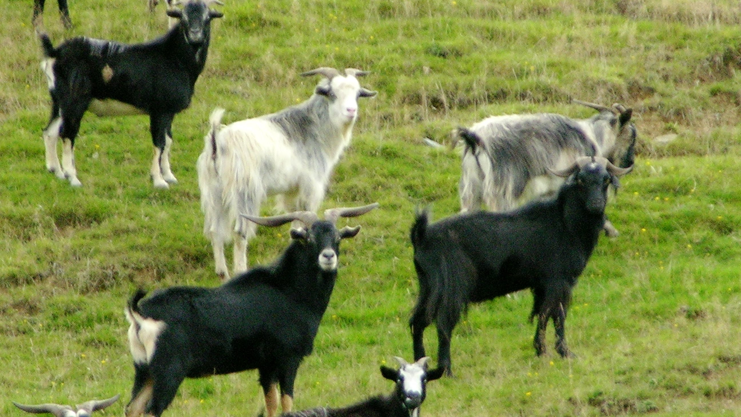 feral-goat