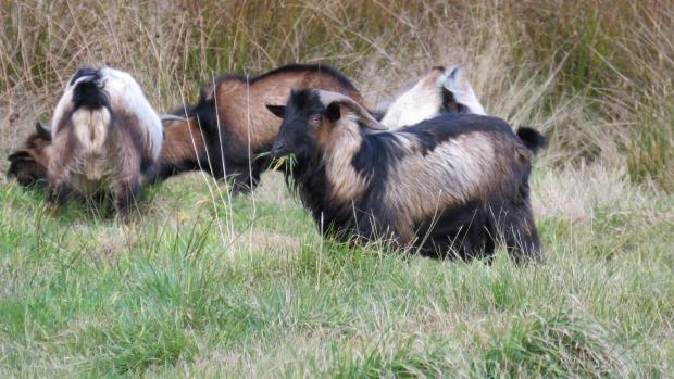 feral-goats-2